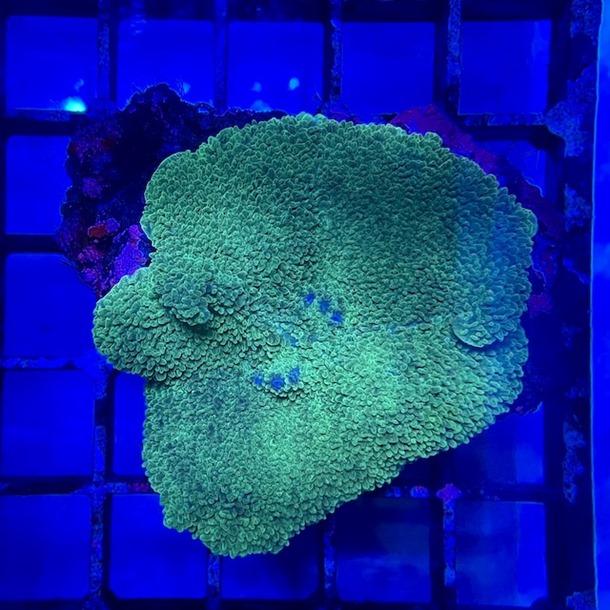 Green Leather Mushroom