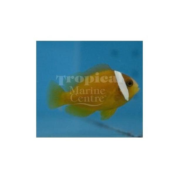 Australian Tomato Clownfish
