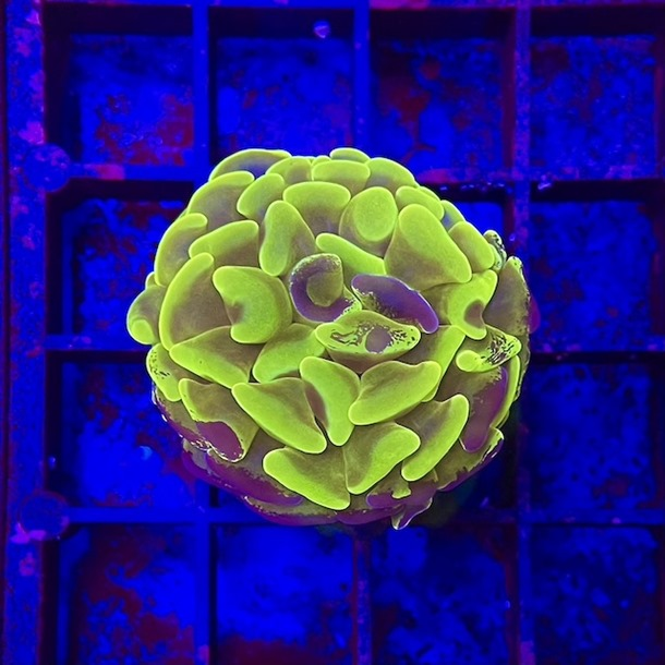 Ultra Two Tone Hammer Frags