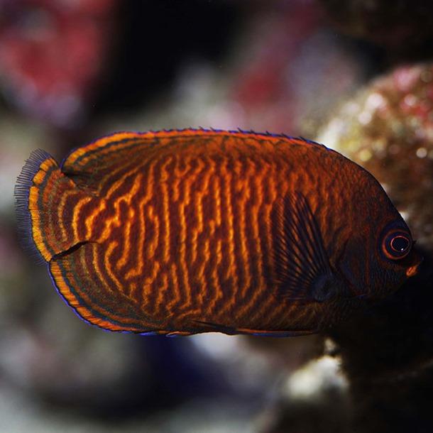 Golden Dwarf Angel Fish