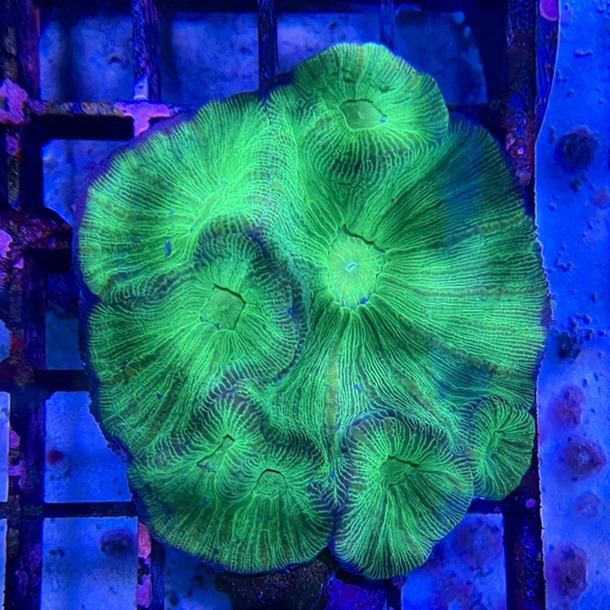 Prism Coral