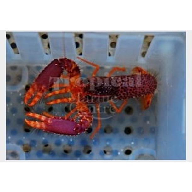 Pink Reef Lobster