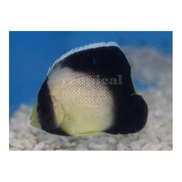 Arabian Smoke Angel Fish