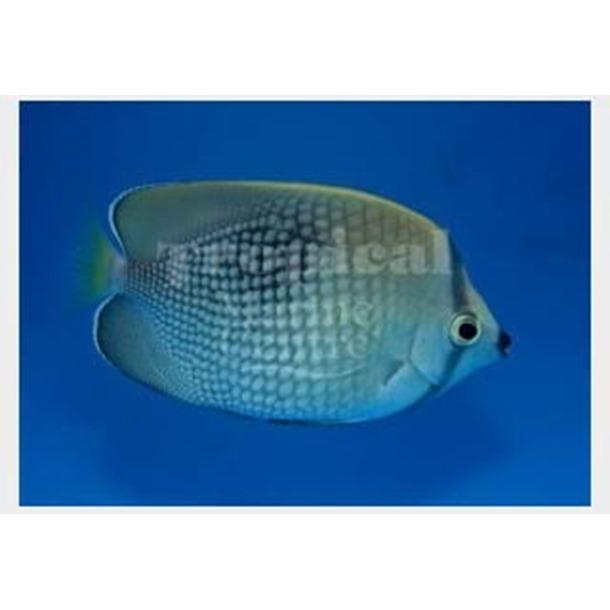 Tahiti Butterflyfish