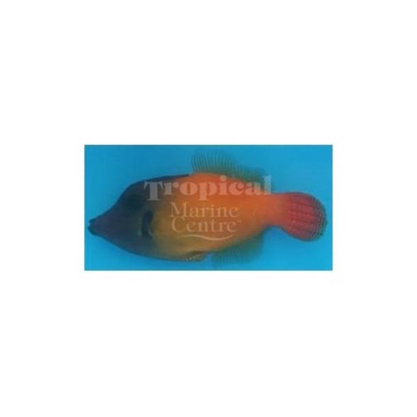 Flame Filefish