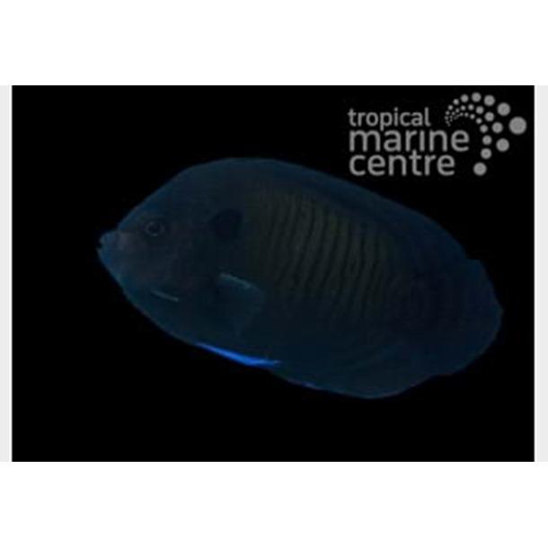 Bluefin Dwarf Angel Fish