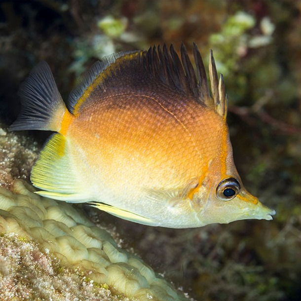 Caribbean Longnose Butterflyfish