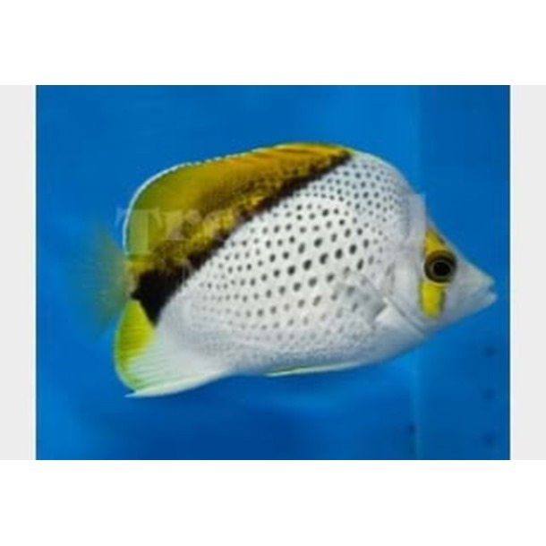 Marquesan Butterflyfish