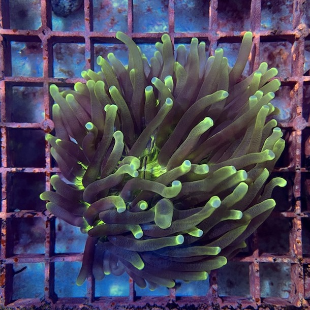 Long Tentacle Plate Coral