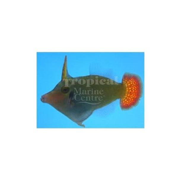 Red Tail Filefish