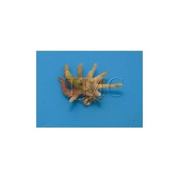 Antler Crab