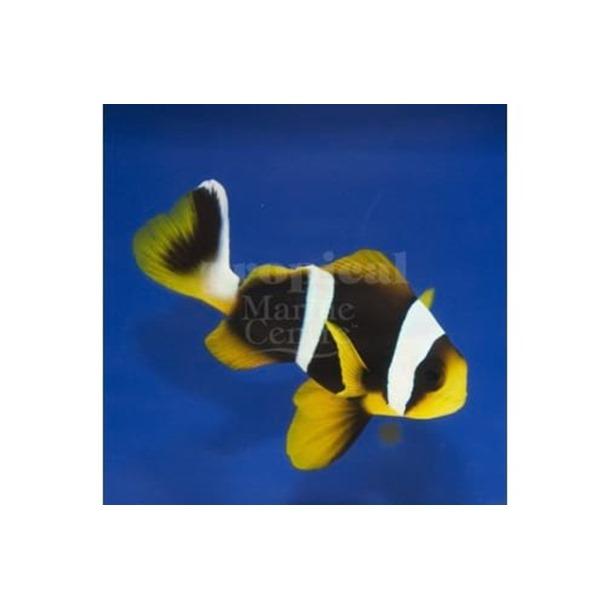 Allard's Clarkii Clownfish