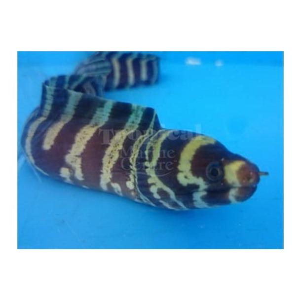 Barred Pebbletooth Moray Eel