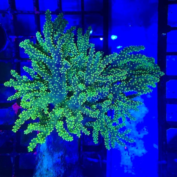 Ultra Green Finger Coral