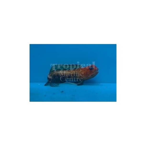 Red Jawfish
