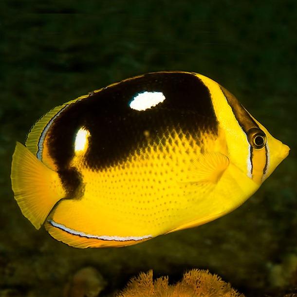 Four Spot Butterflyfish