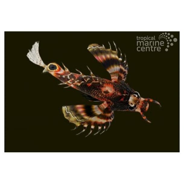 Fu Manchu Lionfish