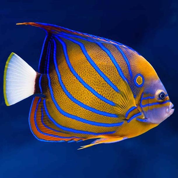 Blue Ring Angel Fish