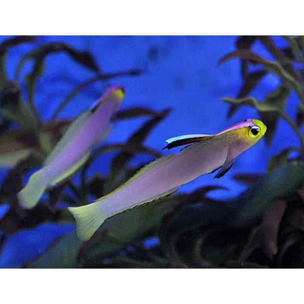 Lilac Firefish