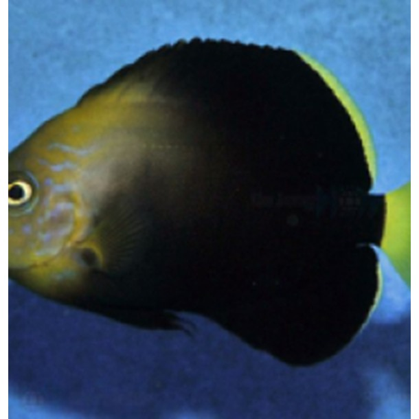 Maze Angel Fish