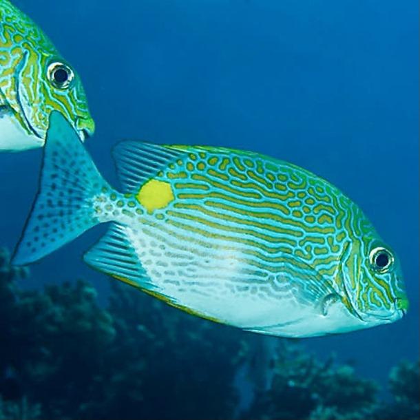 Dot Dash Rabbitfish