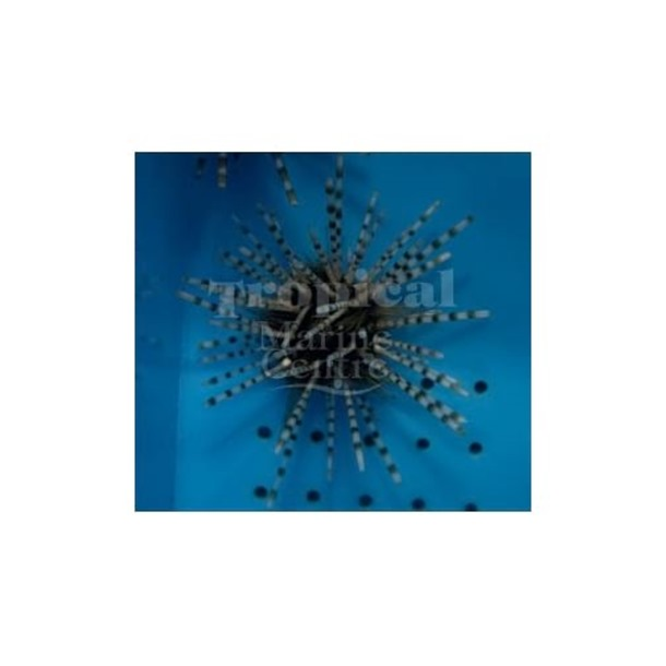 Banded Urchin