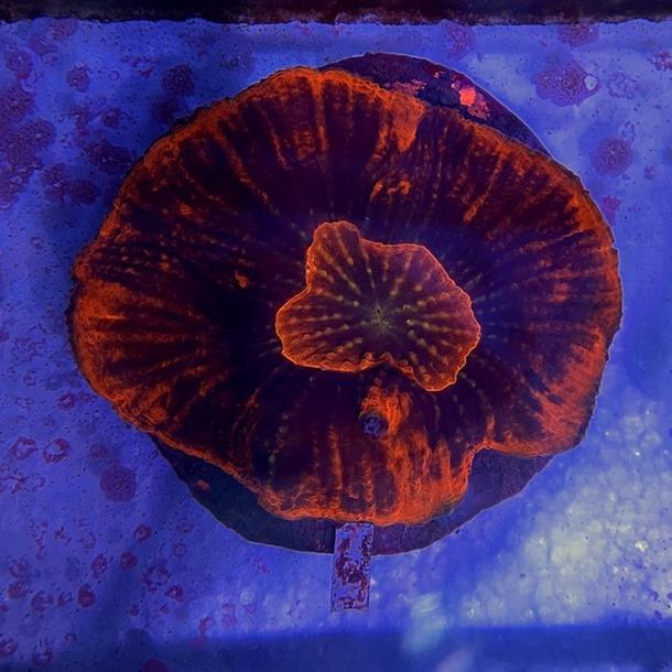 Red Oxypora