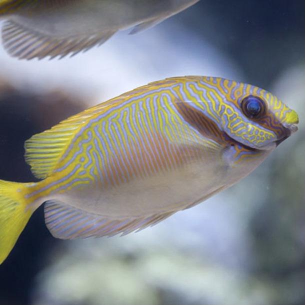 Orange Line Rabbitfish