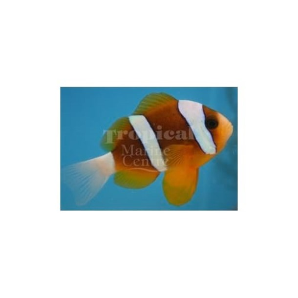 Barrier Reef Clarkii Clownfish