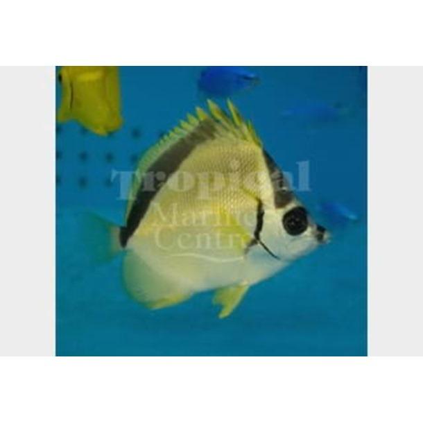 Barber Butterflyfish