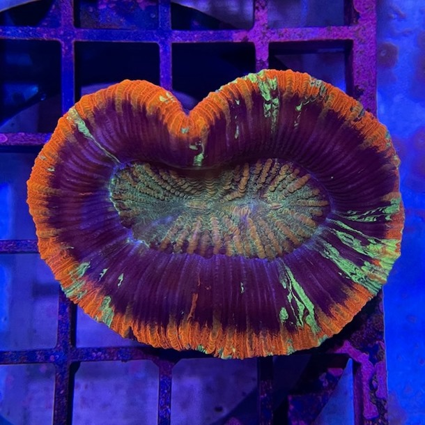 Red Trachyphyllia