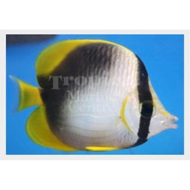 Somali Butterflyfish