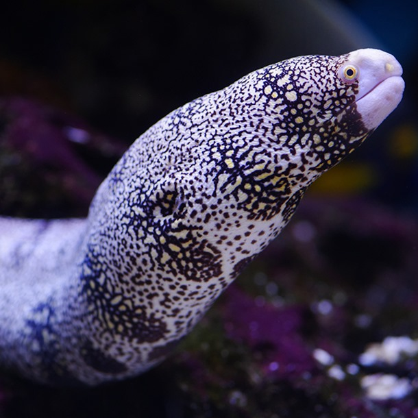 Snowflake Pebbletooth Moray Eel