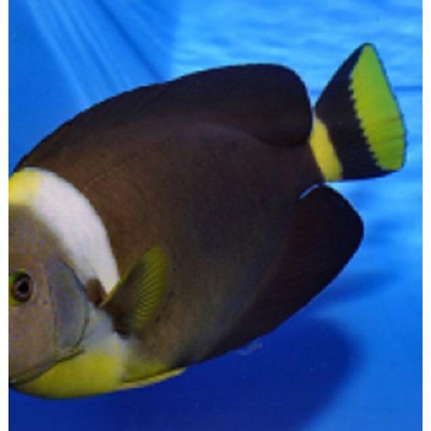 Personifer Angel Fish