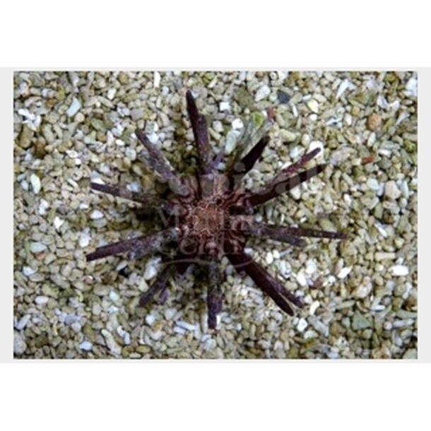 Mine Urchin