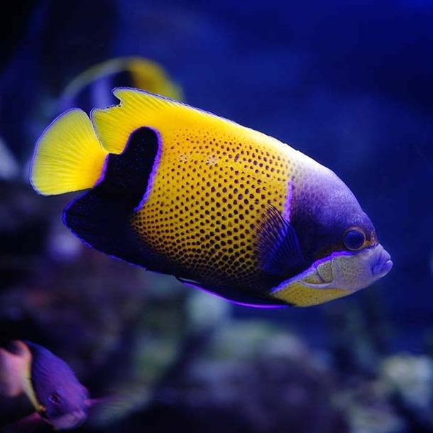 Majestic Angel Fish