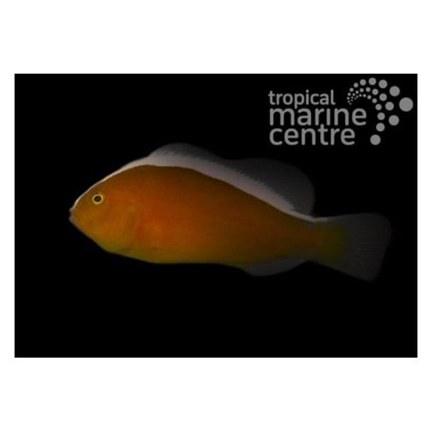 Orange Skunk Clownfish