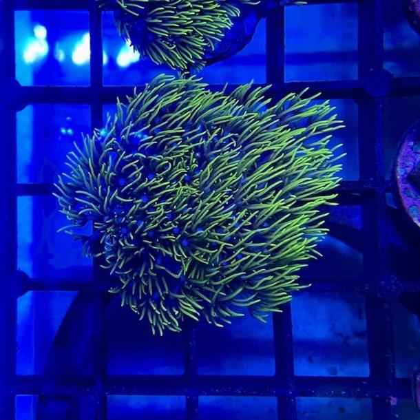 Green Star Polyp Frag