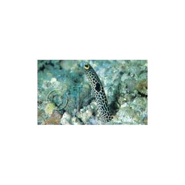 Spotted Garden Eel