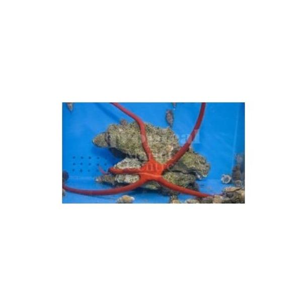 Scarlet Serpent Starfish