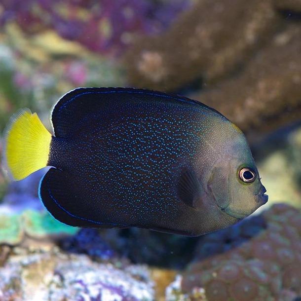 Blue Spot Angel Fish