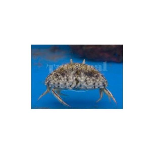 Shameface Crab