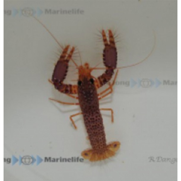 Spotted Reef Lobster
