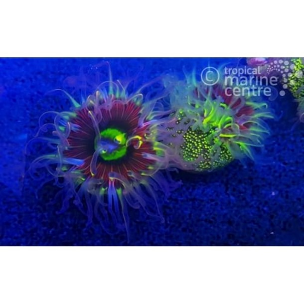 Rainbow Bottom Anemone