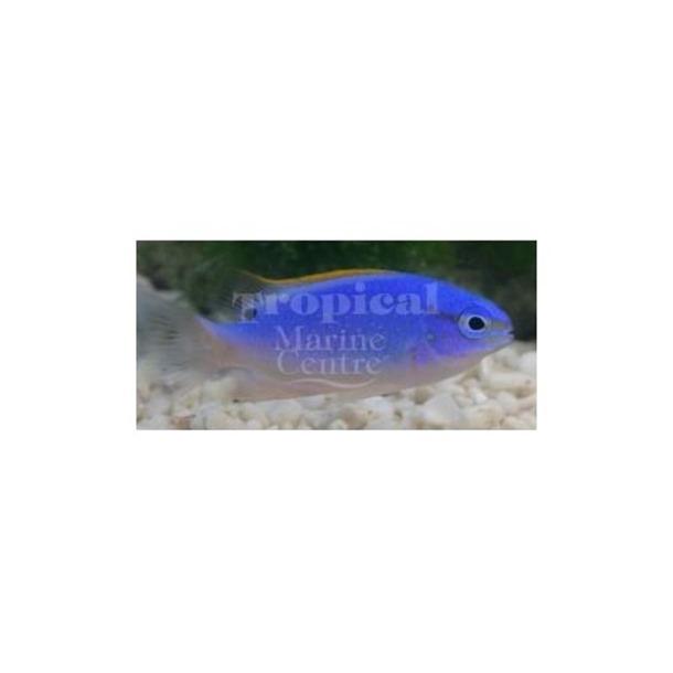 Fiji Damsel