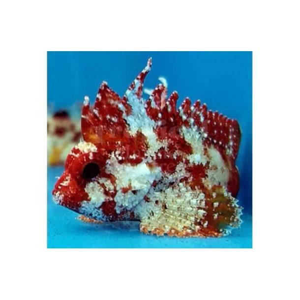 Marbled Scorpionfish
