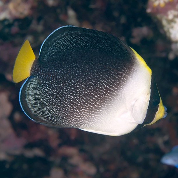 Vermiculate Angel Fish