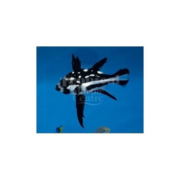 Longfin Snapper
