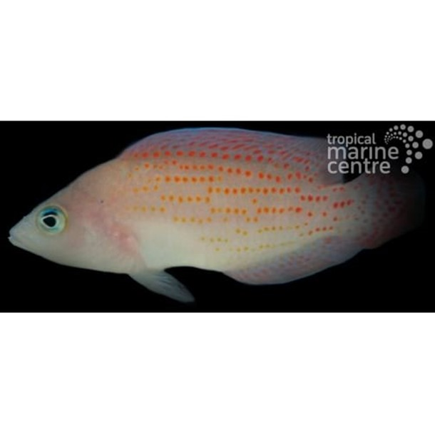 Red Spotted Dottyback