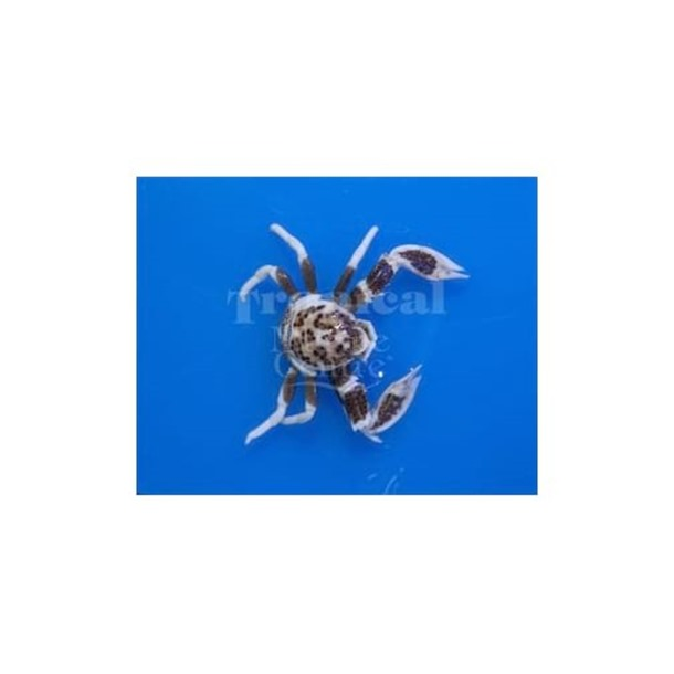 Spotted Anemone Crab